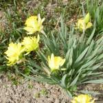żółto-zielone płatki