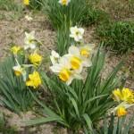 biały z c.żółtą trąbką