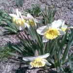 biały z żółtym przykoronkiem