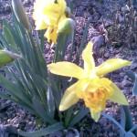 żółty z trąbkowym pełnym środkiem