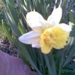 biały z żółtym pełnym środkiem