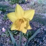 żółty pojedynczy trąbkowy