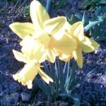 jasno żółte trąbkowe