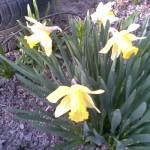jasno żółty trąbkowy