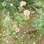 wielkokwiat