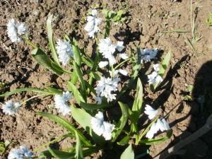 puszkinia cebulicowata