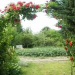 róża na pergoli